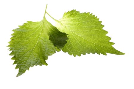 Isolated macro image of Green Perilla leaves, also known as Green Shiso, Oba leaves or Beefsteak plant.