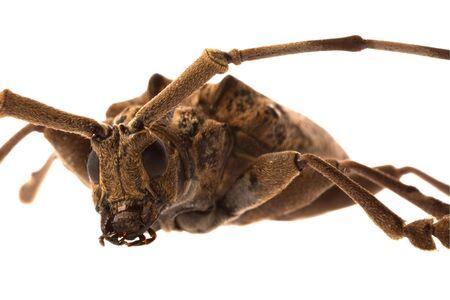 longhorn beetle: Isolated image of a Longhorn beetle.