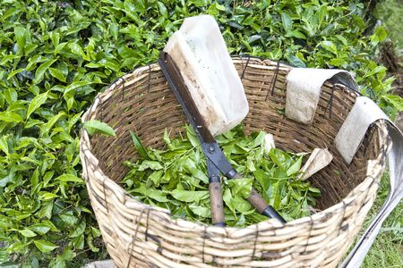 leaf cutter: Image of tea leaf cutter and basket used for harvesting tea leaves.