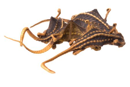 Isolated macro image of dried lizards used in Chinese traditional medicine sold at Longji Terraces, Guilin, China.  photo
