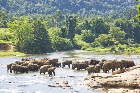 Image of elephants bathing in a river at Pinnawala-Rambukkana, Sri Lanka. photo