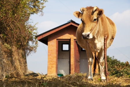 cattle guard: Image of a cow guarding a public toilet at Kathmandu, Nepal.