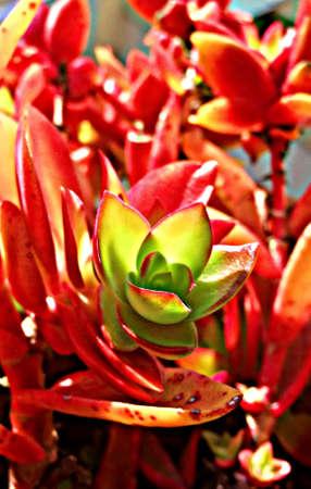 fleshy: fleshy redish flower Stock Photo