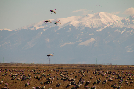 Cranes coming in for a landing in the mountains