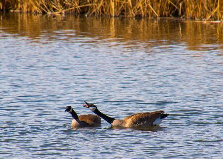 heated: Geese in a heated discussion Stock Photo