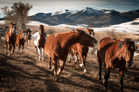 frisky: A group of frisky horses running along a fence with a background of trees and mountains in the winter Stock Photo