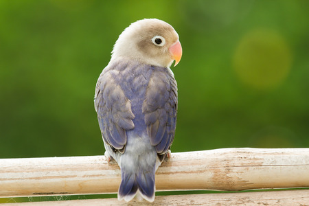 Cute lovebird standing on the perch Stock fotó