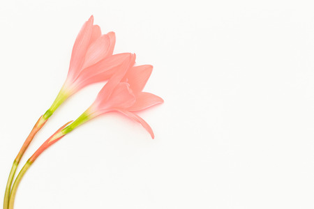 Pink flowers on white background 版權商用圖片