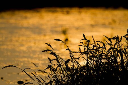 dim light: Silhouette of grass flowers against blurred golden background during sunset with dim light