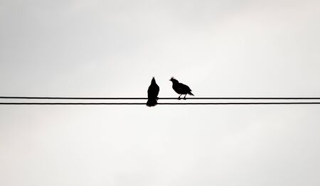 black branch: Two silhouette birds on the electricity cable on white background