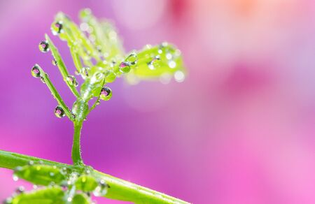 dewdrop: Soft focus of droplets on green leaf with sweet blurred pink background Stock Photo