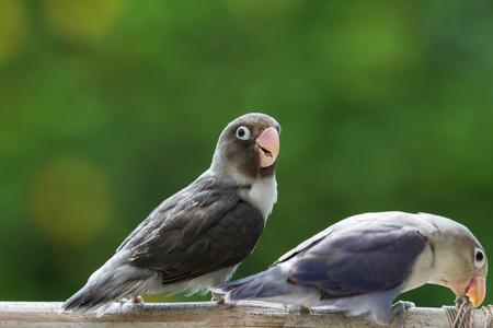 lovebirds: Cute lovebirds standing on the perch