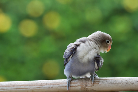 lovebird: Beautiful lovebird cleaing up himself Stock Photo