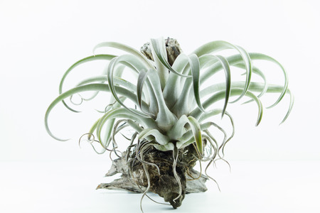tillandsia: Air root plant, Tillandsia Chiapensis, on white background Stock Photo