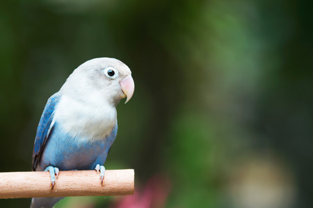 lovebird: Blue lovebird standing on the perch in the garden