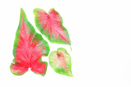 venation: Green red caladium leaves isolated on white background