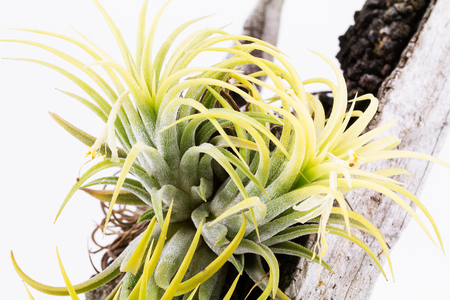 druid: Air root plant on wood, Tillandsia Ionantha Druid , on white background
