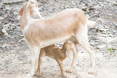 breastfeed: Baby goat drinking milk from the mother goat  standing on the ground Stock Photo