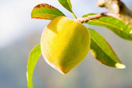peach tree: Fresh green peach fruit on peach tree on blurred background