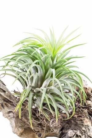 tillandsia: Air root plant on wood, Tillandsia Ionantha, on white background Stock Photo
