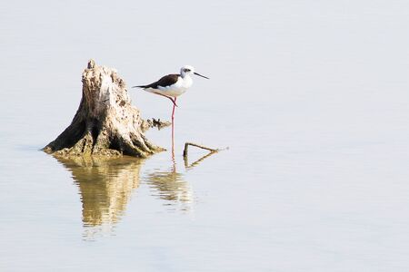seabird: Seabird standing beside a stump with reflection in a shallow water Stock Photo