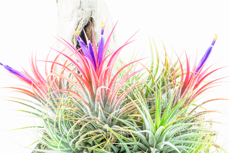 tillandsia: Pink air root plant in bloomimg with purple flowers on wood, Tillandsia Ionantha, on white background Stock Photo
