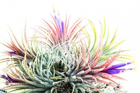 tillandsia: Pink air root plant in bloomimg with purple flowers on wood, Tillandsia Ionantha Zebrina , on white background