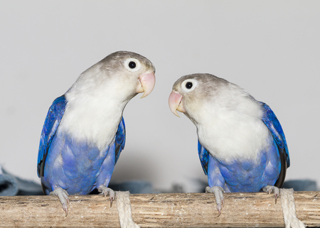 perch: Two blue lovebirds sitting on the perch
