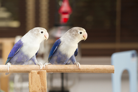 lovebirds: Two blue lovebirds sitting on the perch in the house Stock Photo