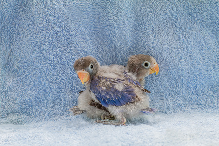 lovebirds: Two baby lovebirds on blue cloth background