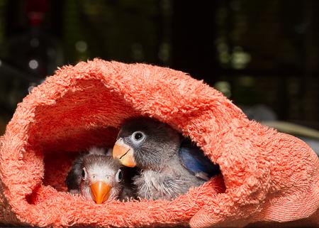 lovebirds: Baby lovebirds in cloth nest on table  in house Stock Photo