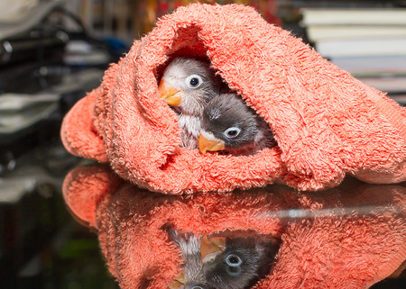 Baby lovebirds in cloth nest on glass table with reflection  in house Stock Photo