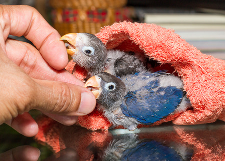 lovebirds: Baby lovebirds playing with the guys hand  on table in house