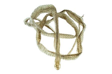 molting: Shedding snake skin on white background