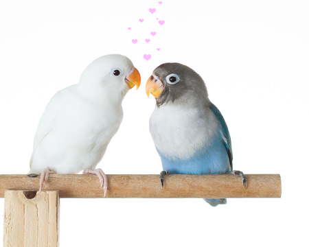 Blue and white lovebird standing and flirting on the perch in the house