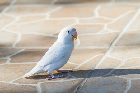 lovebird: White lovebird standing on ground with shadow Stock Photo