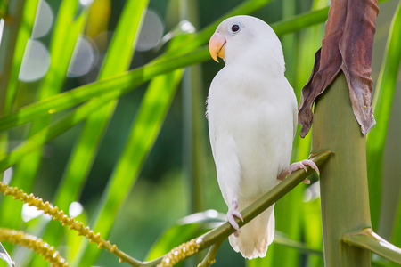 lovebird: White lovebird playing on the tree in garden Stock Photo