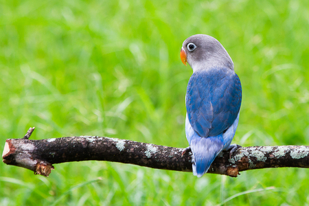 lovebird: Blue lovebird standing on the perch on blurred garden background Stock Photo