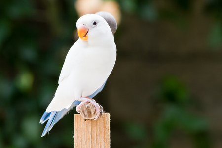 lovebird: White lovebird standing on the perch on blurred garden background