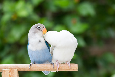 white perch: Blue and white lovebird standing on the perch on blurred garden background