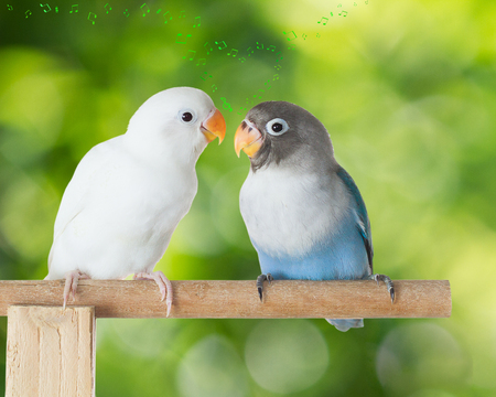 Blue and white lovebird talking on the perch with heart shaped musical notes on blurred green bokeh background Stock Photo