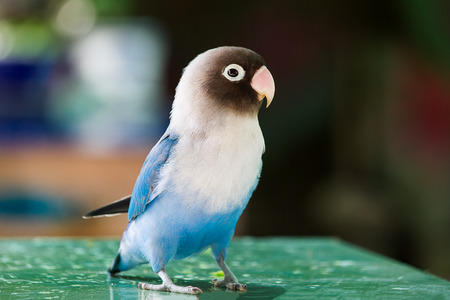 Blue parrot lovebird playing on table on blurred kitchen background Stock Photo