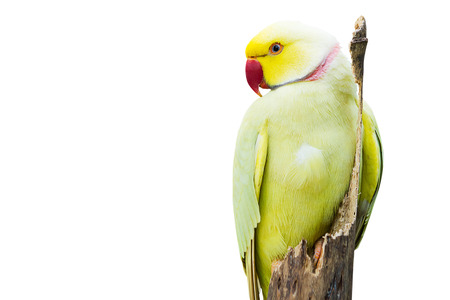 Ringneck parrot sitting on dried tree branch on white background Imagens
