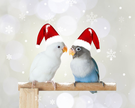 Two lovebirds wearing Christmas hat, Christmas background Stock Photo