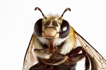 Super macro head shot of bee on white background Imagens