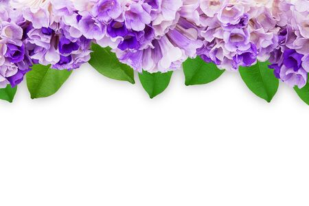 Pink purple flower mansoa alliacea or garlic vine with leaves frame isolated on white background with clipping path