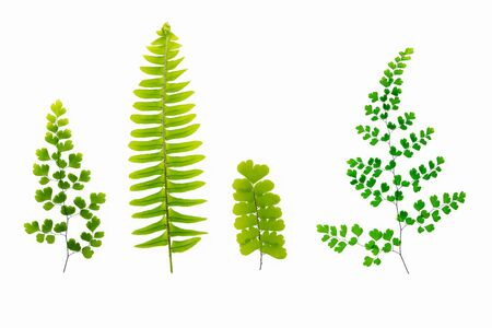 Fresh tropical fern leaves isolated on white background