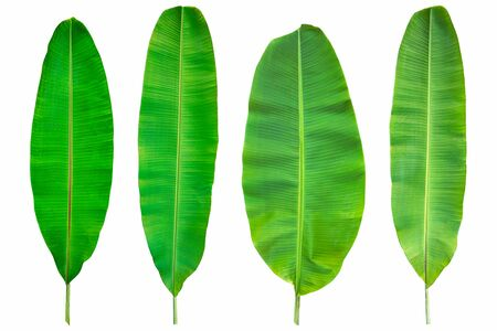 Fresh green banana leaves isolated on white background