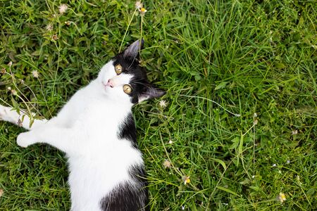 Black and white Thai cat playing on green grass 스톡 콘텐츠