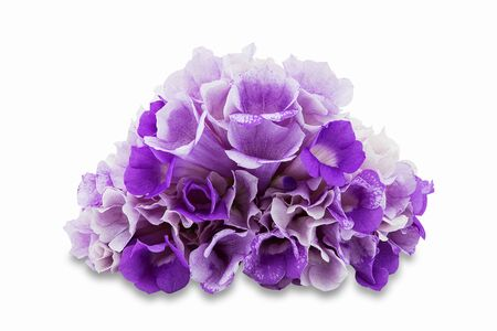 Pink purple flower mansoa alliacea or garlic vine isolated on white background with clipping path